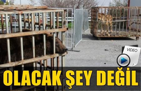 İSTANBUL'DA BİR AVM'DE AYI VE ASLAN BULUNDU! GÖRENLER GÖZLERİNE İNANAMADI!..