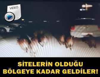 DOMUZLAR SÜRÜ HALİNDE ŞEHRE İNİNCE OLANLAR OLDU!..