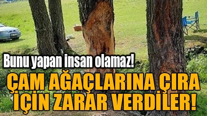 ÇAM AĞAÇLARINA ÇIRA  İÇİN ZARAR VERDİLER!