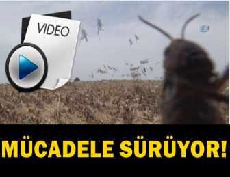 ŞANLIURFA'DA KÖYÜ ÇEKİRGELER İSTİLA ETTİ!..