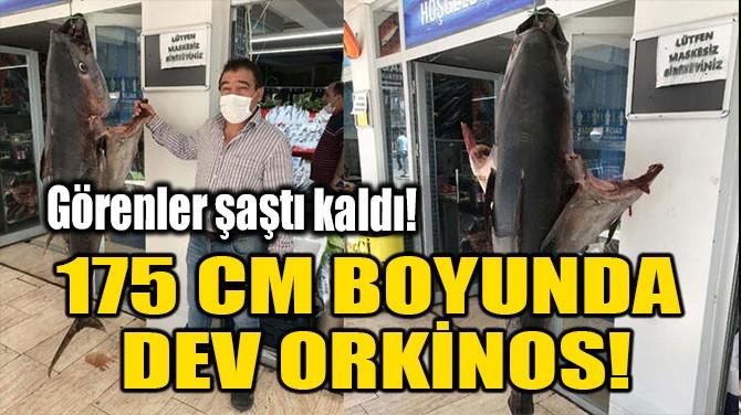 175 CM BOYUNDA DEV ORKİNOS!