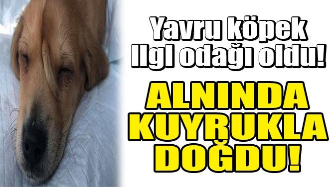KÖPEK YAVRUSU, ALNINDA KUYRUKLA DOĞDU!