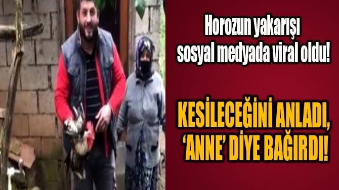 'ANNE' DİYE BAĞIRAN HOROZ