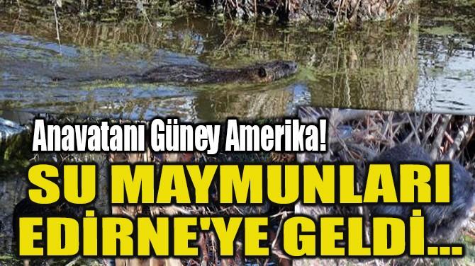 SU MAYMUNLARI EDİRNE'YE GELDİ...