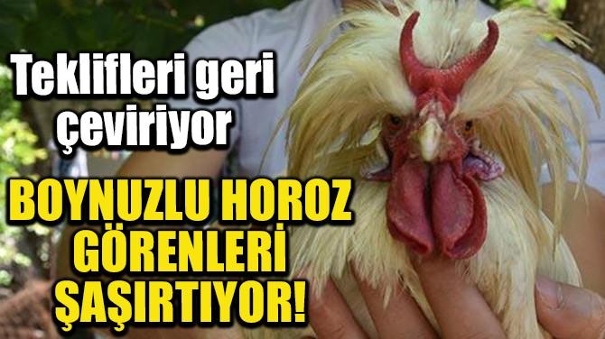 BOYNUZLU HOROZ GÖRENLERİ ŞAŞIRTIYOR!