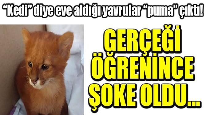 """""""KEDİ"""" DİYE EVE ALDIĞI YAVRULAR """"PUMA"""" ÇIKTI!"""