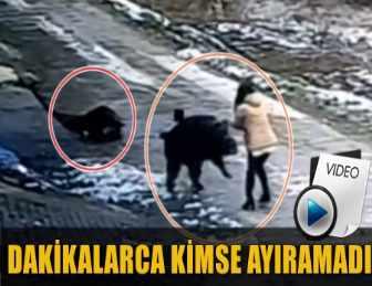 YABAN DOMUZU KÖYE İNDİ DEHŞET SAÇTI! 1 KİŞİ HAYATINI KAYBETTİ!..