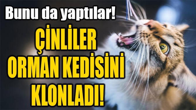 ÇİNLİLER  ORMAN KEDİSİNİ  KLONLADI!