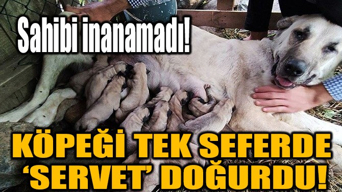 KÖPEĞİ TEK SEFERDE 'SERVET' DOĞURDU!