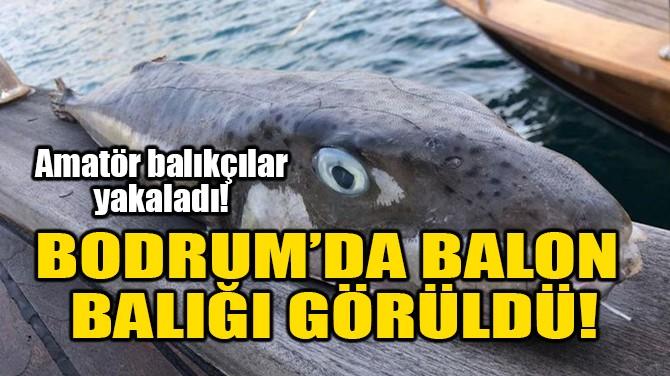 BODRUM'DA BALON BALIĞI GÖRÜLDÜ!